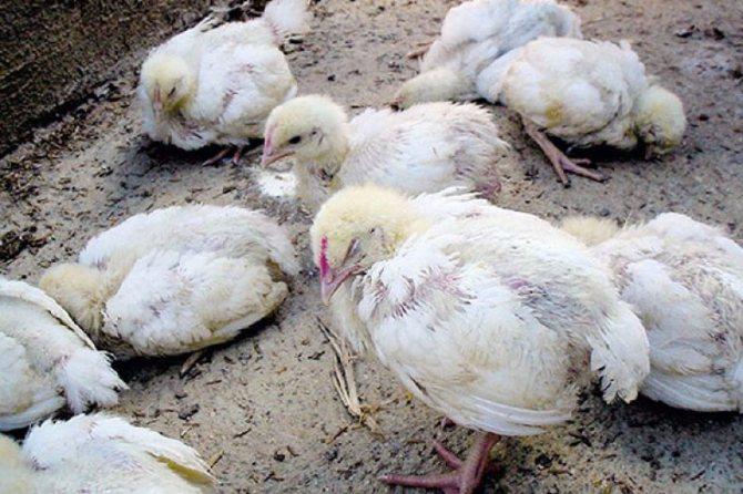 Понос у кур несушек: причины, как и чем лечить
