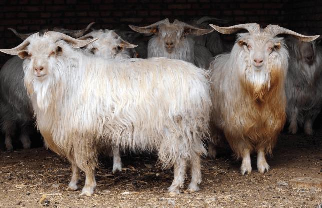 Орловская порода коз: характеристики, условия разведения и содержания