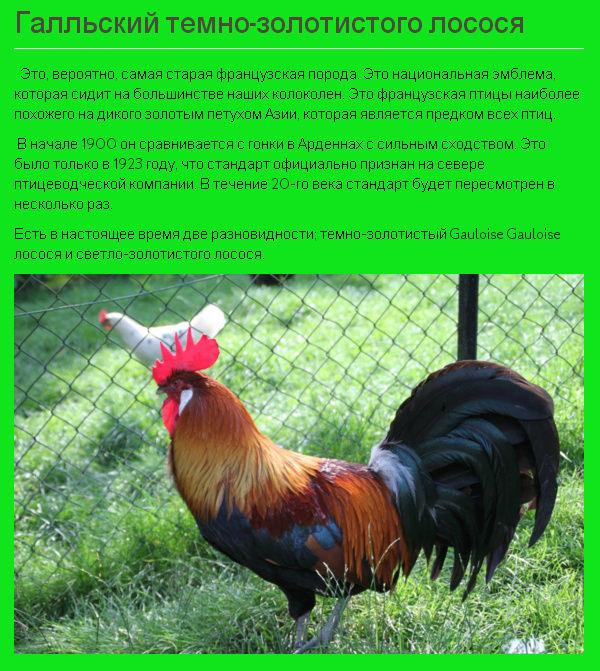 Куры брессгальские фото и описание. порода кур бресс гальский
