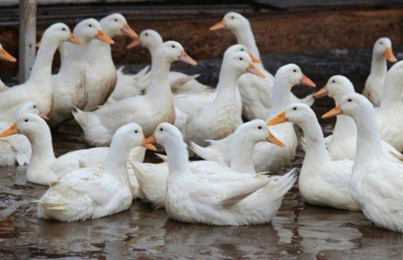 Белые утки (17 фото): описание московской, украинской и других пород. как выглядит домашний бройлерный утенок? кто такие белые шипуны?