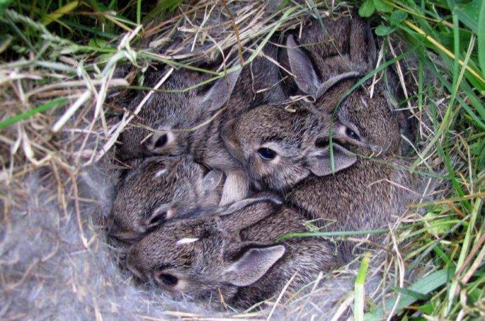 Новорожденные крольчата. описание с фото и видео