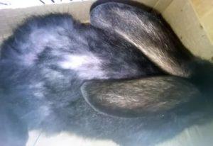 Кролик лысеет на холке