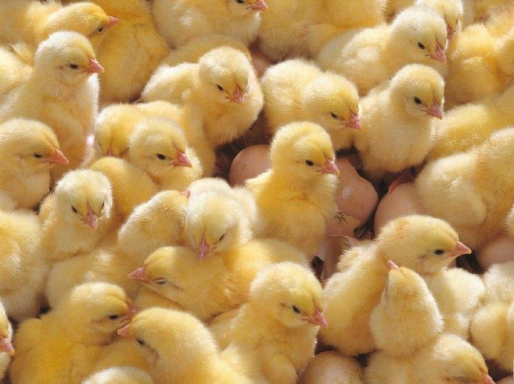 Бройлерные цыплята для домашнего содержания, породы с фото