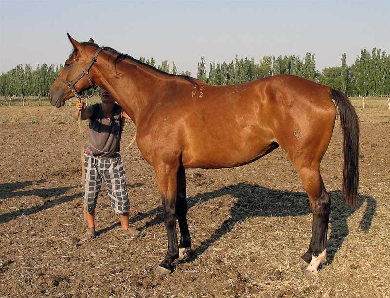 Тракененская лошадь: характеристика, содержание и уход