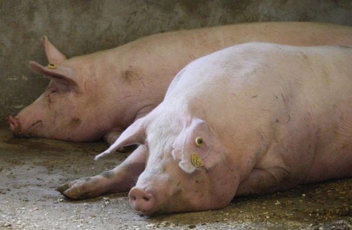 Рожа у свиней можно употреблять в пищу мясо - инфекцияинфо