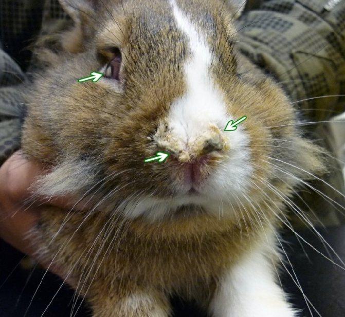 Почему чихают кролики: причины, возможные болезни, лечение, профилактика, советы ветеринаров и кролиководов