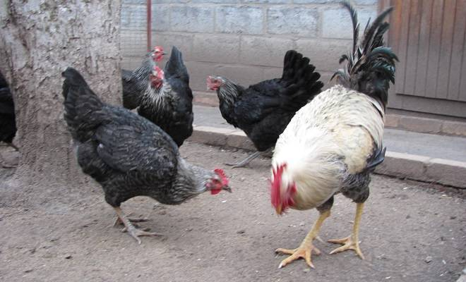 Юрловские куры и голосистые петухи в домашних условиях