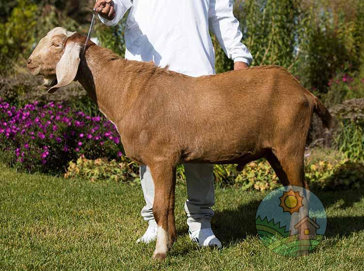Чем отличаются нубийские козы?