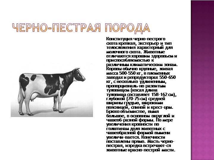 Швицкая порода коров: фото и характеристики породы
