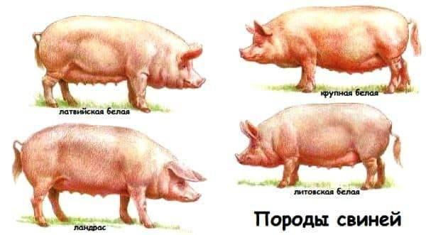 Разведение свиней в домашних условиях — cельхозпортал