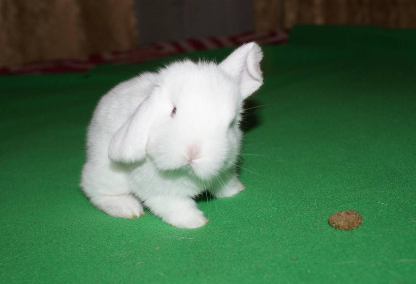 Описание декоративного кролика вислоухий баран и особенности содержания