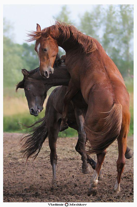 Разведение лошадей в домашних условиях: спаривание, видео