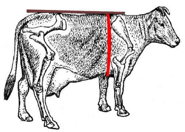 Как определить вес быка без весов: таблица