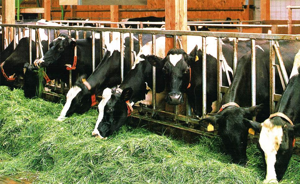 Содержание коровы в домашних условиях (беспривязное), в личном хозяйстве