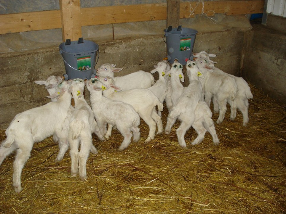 Разведение коз: основные виды и особенности бизнеса