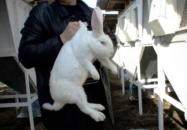 Кролик серый великан (31 фото): описание породы, содержание в домашних условиях и кормление, особенности разведения