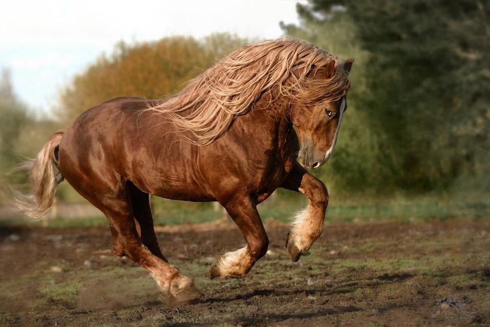 Тяжеловозы: лучшие рабочие породы лошадей