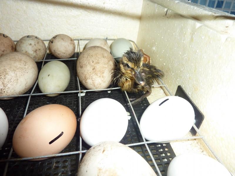 Цесарки. инкубация яиц и оценка суточного молодняка