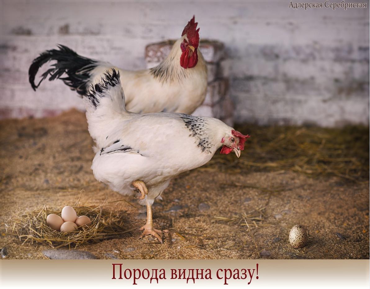 Адлерская серебристая порода кур: описание, фото, отзывы, содержание