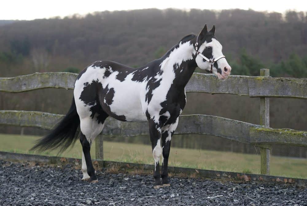 Название и описание самых красивых пород лошадей