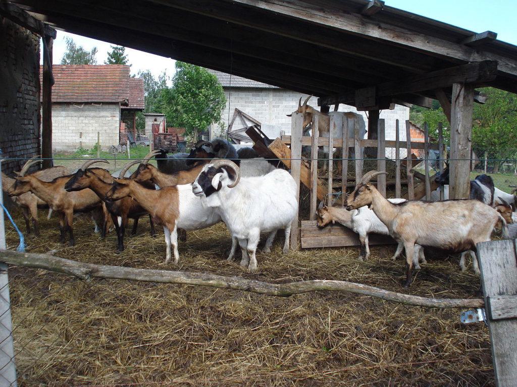 ✅ о содержании коз: в домашних условиях для начинающих, уход за дойной, помещение - tehnomir32.ru