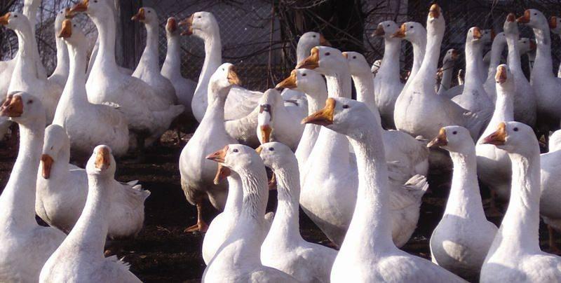 Губернаторские гуси (23 фото): описание породы. уход за суточными гусятами и взрослыми гусями