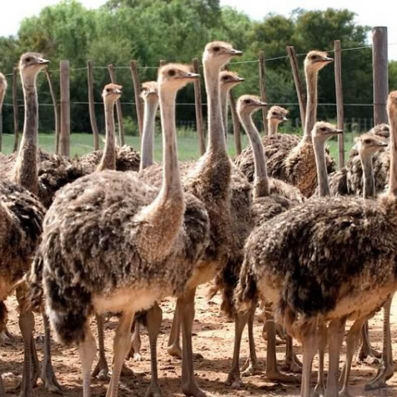 Секреты успешного разведения и содержания страусов
