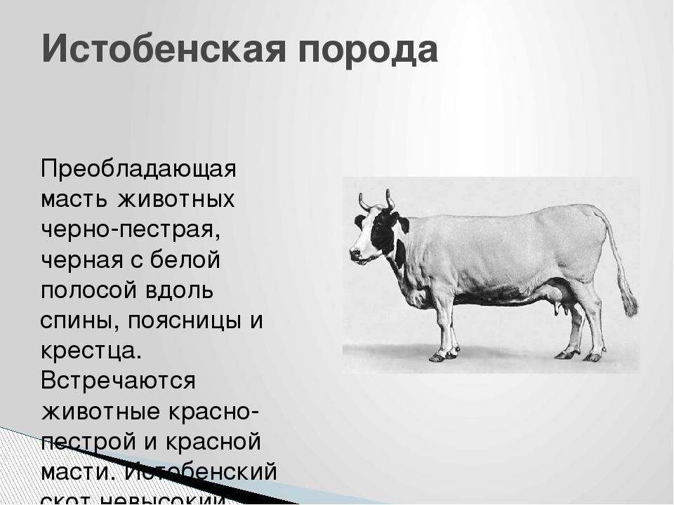 Описание красно-пестрой породы коров, преимущества и правила кормления