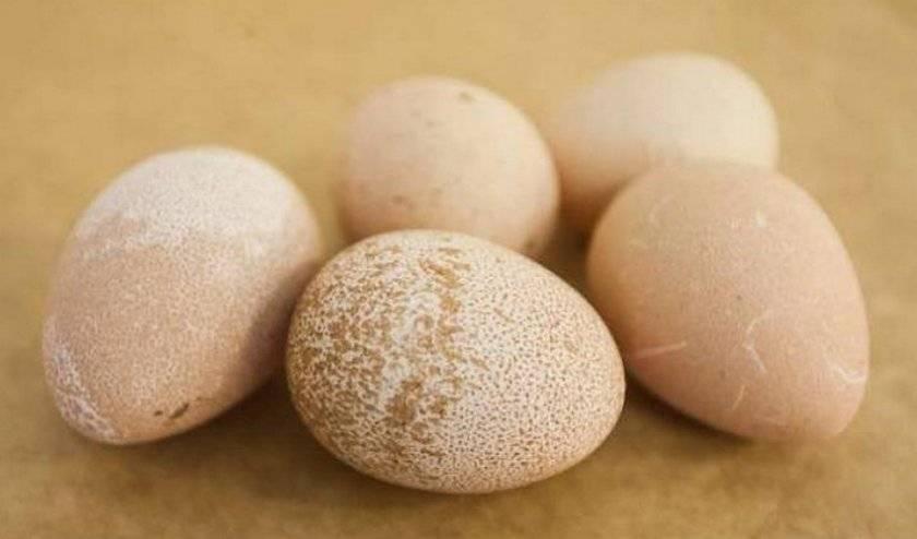 Яйца цесарки: описание, как выглядят, польза и вред — selok.info