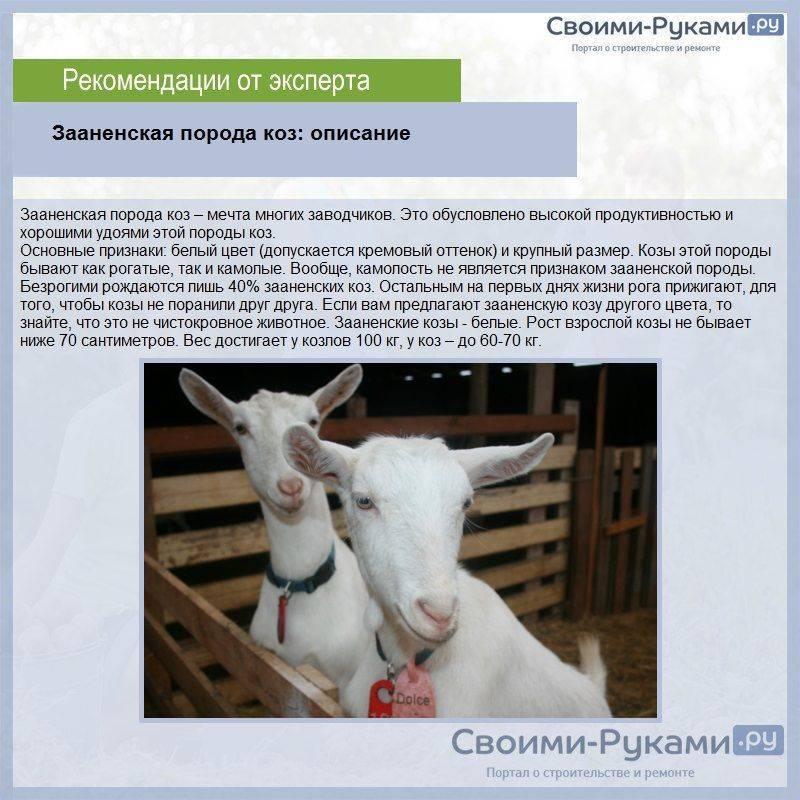 Описание и характеристика продуктивности молочных пород коз, которые дают молоко без запаха