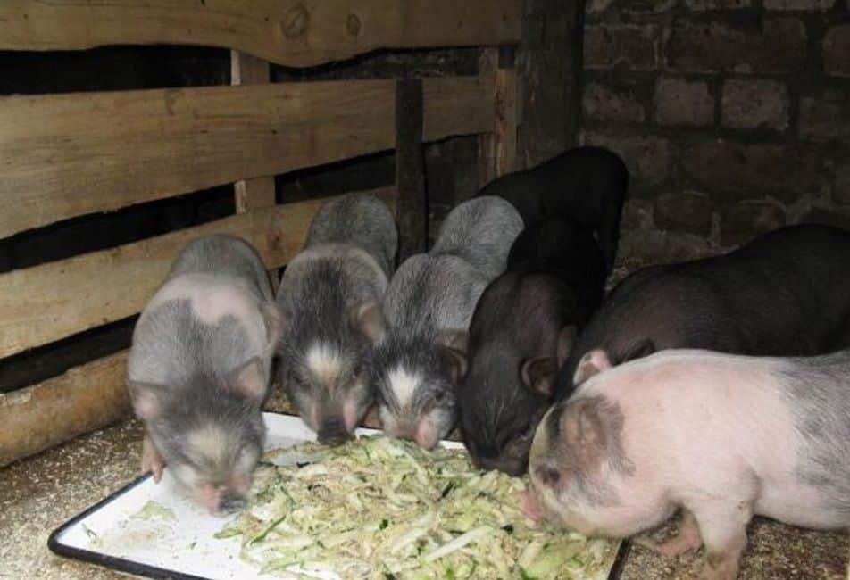 Мифы и правда о вьетнамских свиньях | fermer.ru - фермер.ру - главный фермерский портал - все о бизнесе в сельском хозяйстве. форум фермеров.