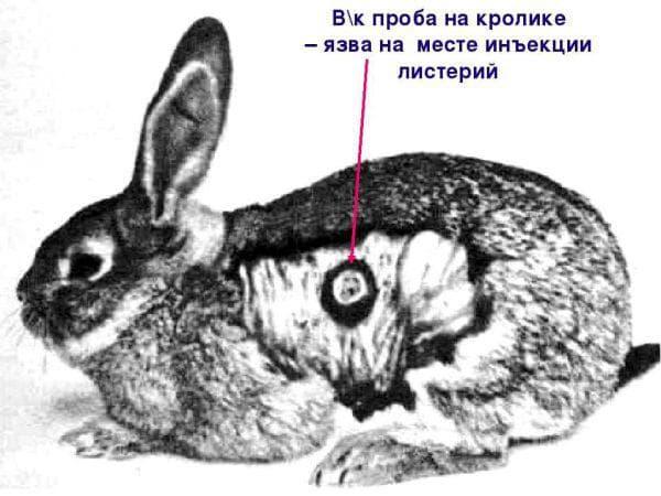 У кроликов отказывают задние лапы: что делать, почему, причины паралича