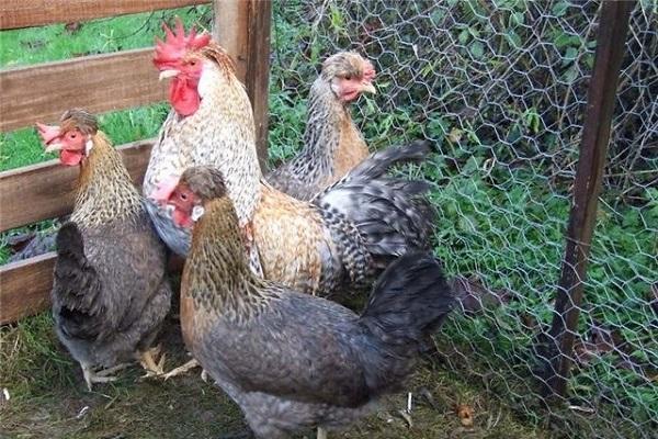 Легбар кремовый (хохлатый): описание породы кур, отличительные признаки, фото,  преимущества и недостатки, советы по разведению и кормлению