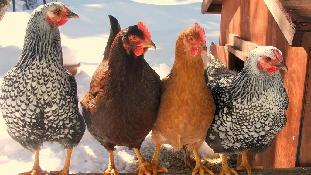 Лучшие яичные породы кур несушек для дома
