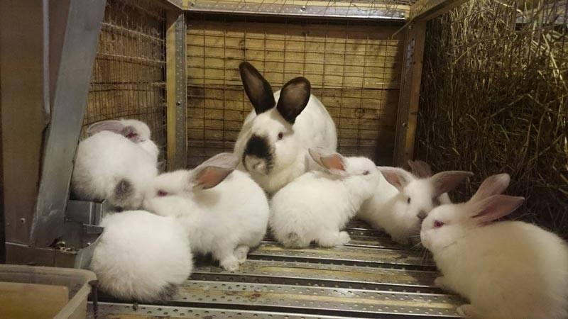 Белый великан порода кроликов - характеристики и советы по содержанию