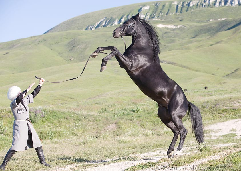 Кабардинская лошадь: фото породы, описание и разведения скакуна