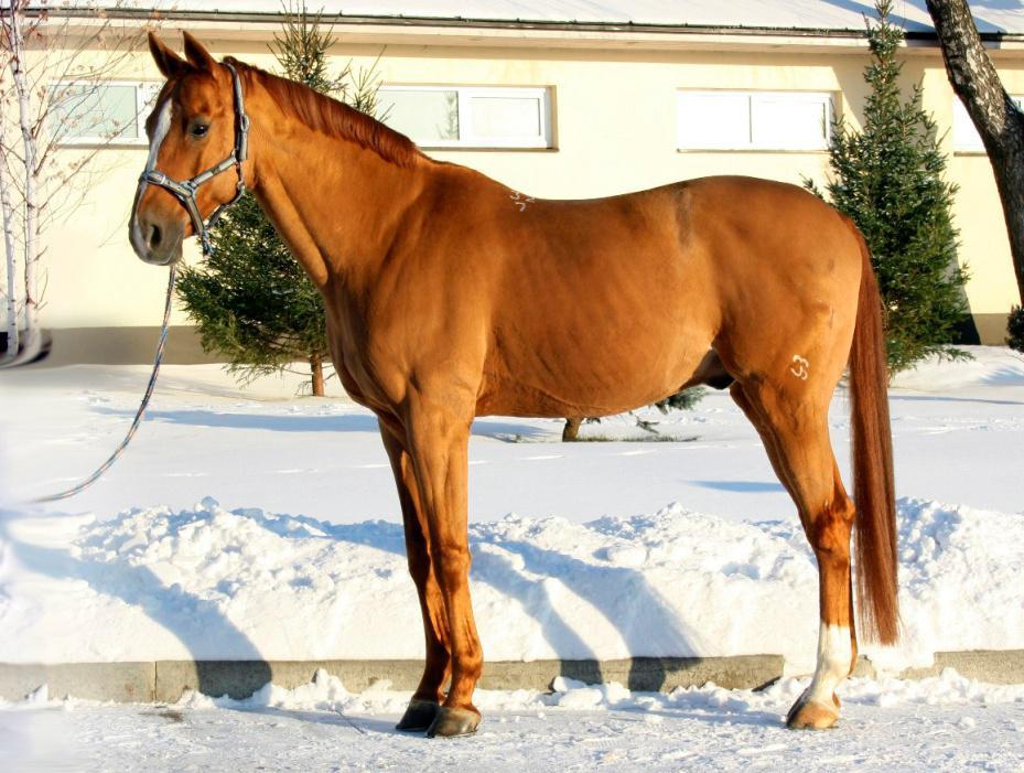 Буденновская лошадь: особенности породы и характеристика