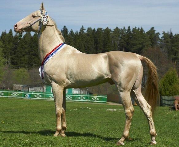 Ахалтекинская порода лошадей: описание, содержание и уход