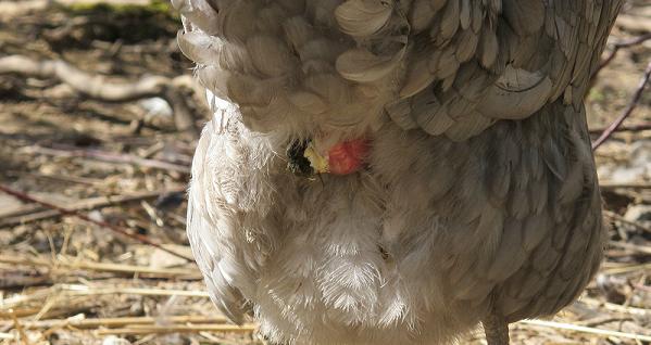 У курицы выпал яйцевод: что делать и как лечить воспаление?