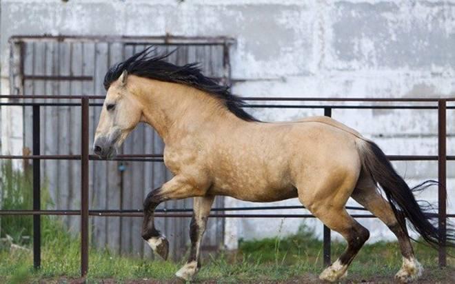 Чалая масть лошадей: фото, описание, характеристика