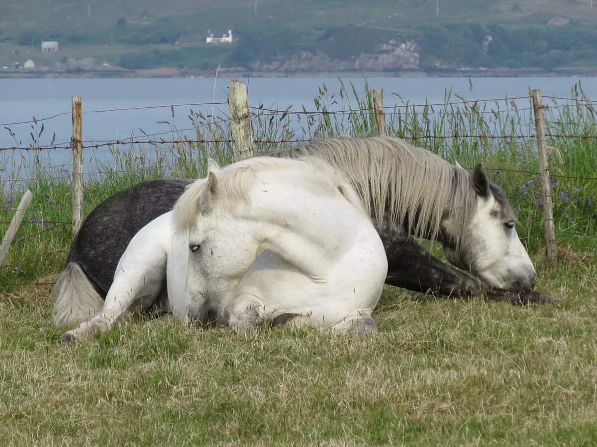 ᐉ почему лошади спят стоя а не лежа – спящий конь - zooshop-76.ru