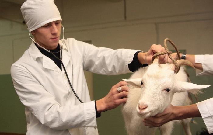 У козы кетоз: что делать фермеру?