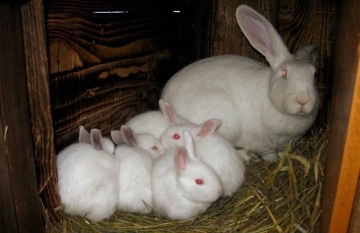 Кролик белый великан: описание породы, разведение, фото