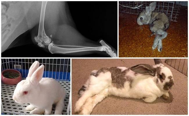 У кролика отказали задние лапы — что делать, причины паралича