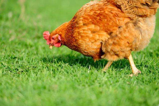 Сассо порода кур – описание, фото и видео цветного бройлера - магеллан