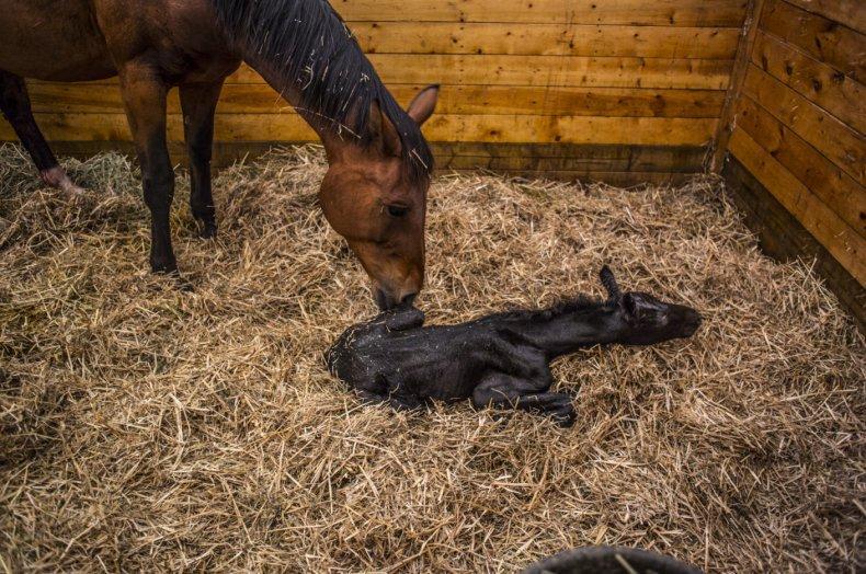 Жеребость лошадей: основные вопросы про беременность и роды