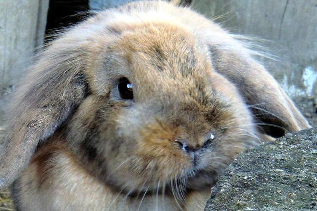 Как вылечить насморк у кроликов?