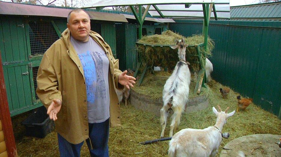 Козье мясо - выращивание и откорм коз на мясо