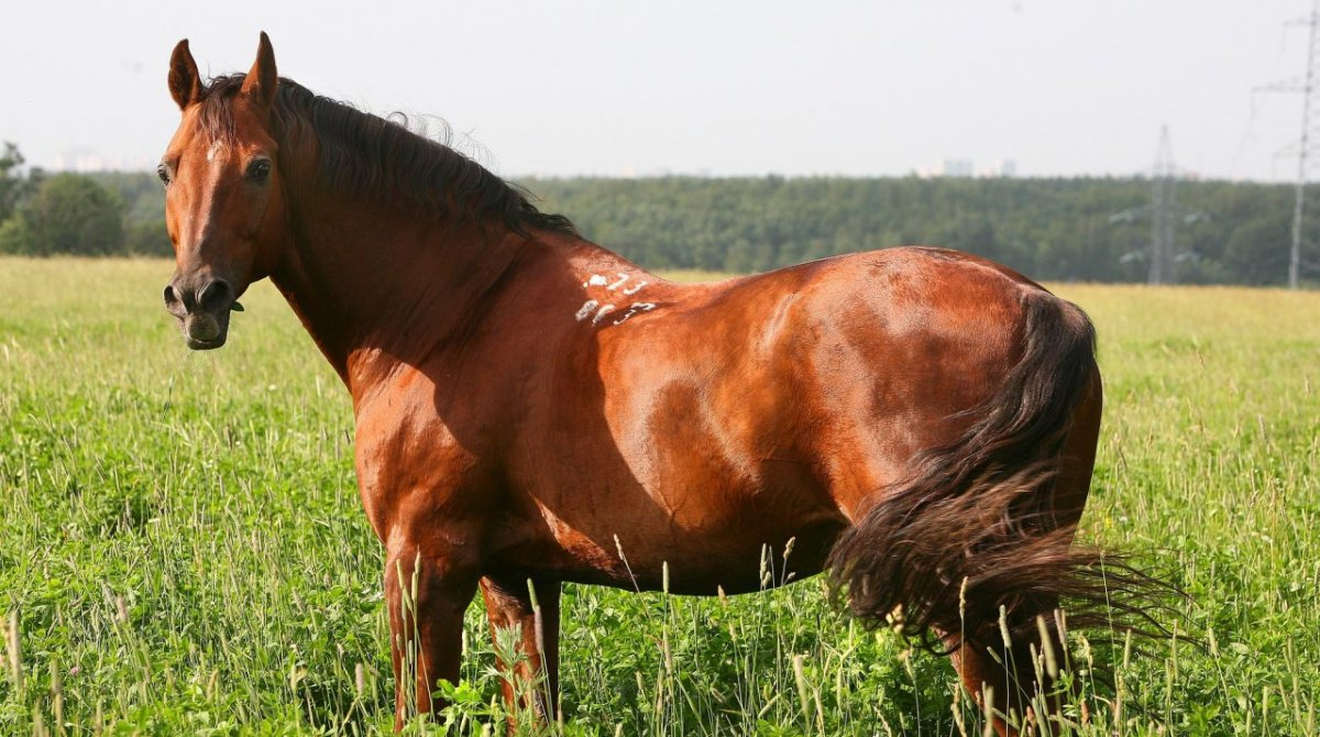 Донская лошадь: породы, масти, описание и история