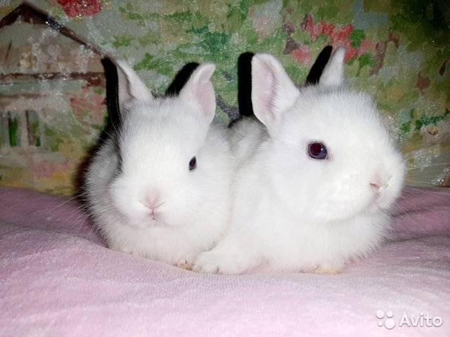 ✅ о карликовом кролике: описание породы и уход, как выбрать японского кролика